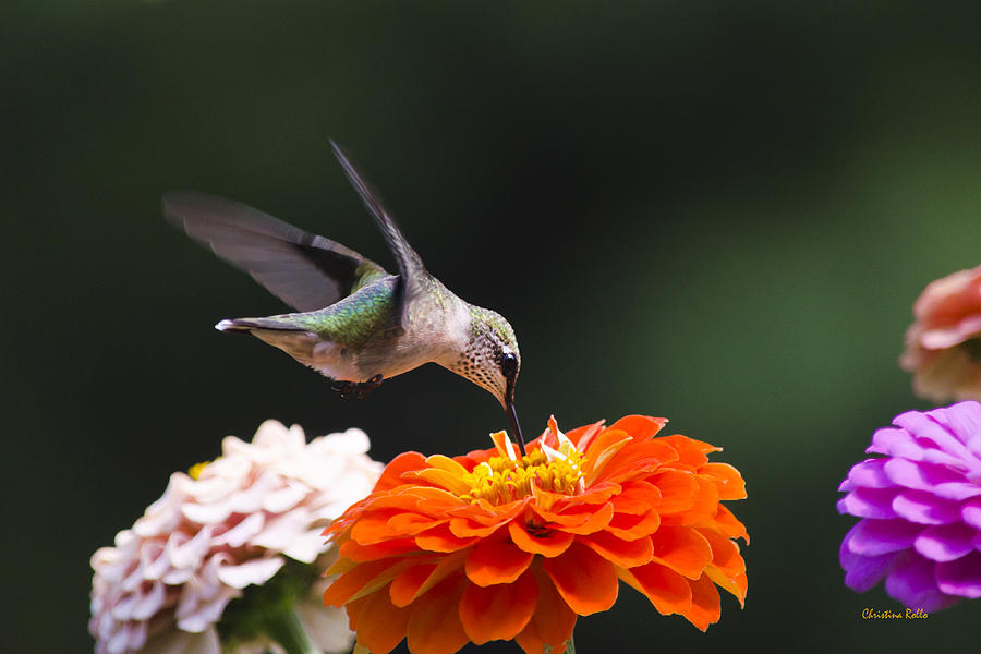 Hummingbird In Flight With Orange Zinnia Flower Photograph  - Hummingbird In Flight With Orange Zinnia Flower Fine Art Print