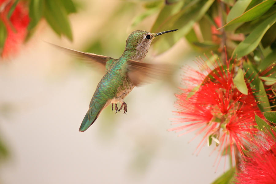 Hummingbird In Paradise Photograph