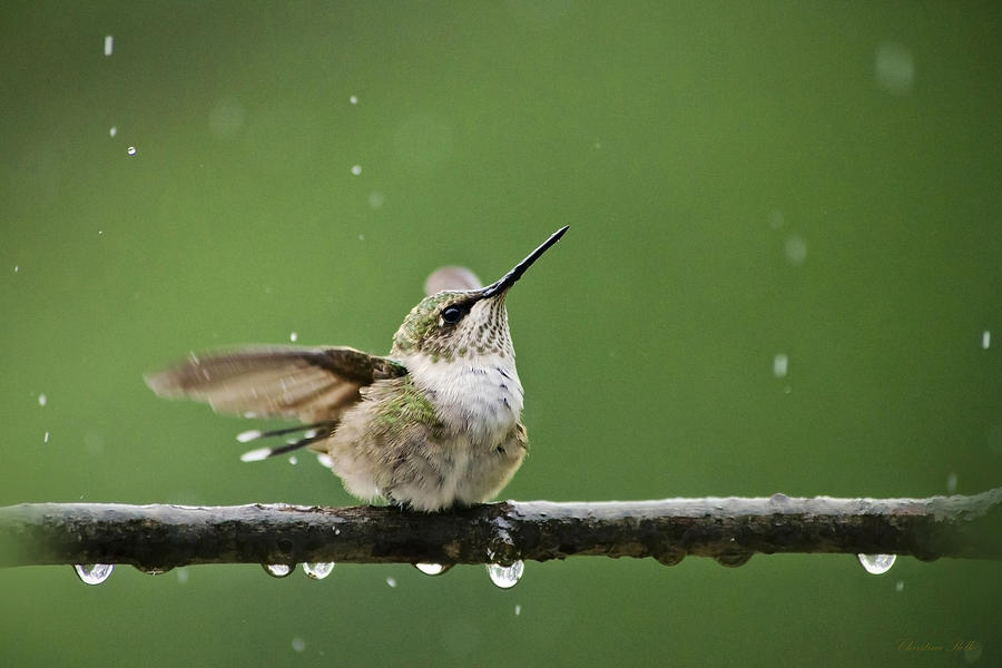 Hummingbird In The Rain Photograph