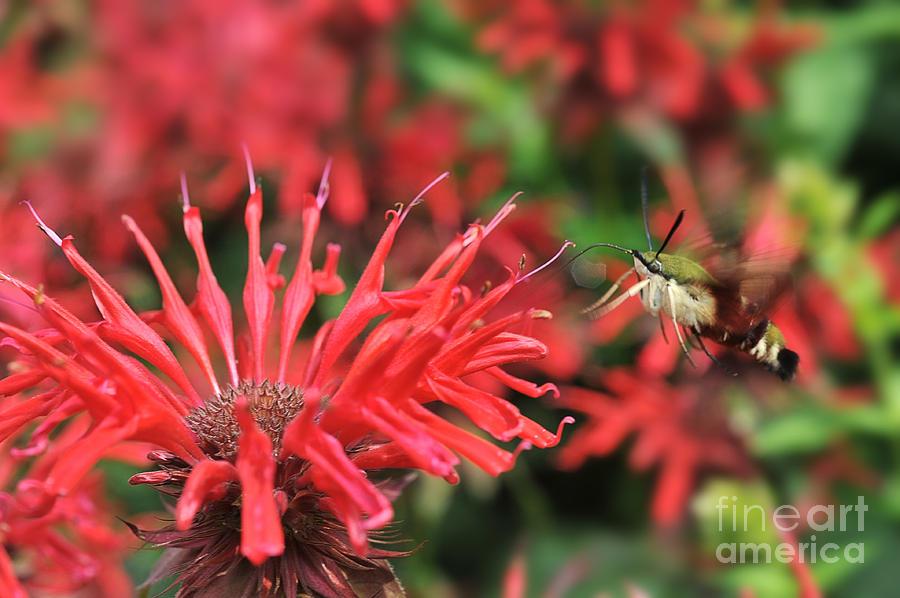 Hummingbird Moth Feeding On Red Flower Photograph