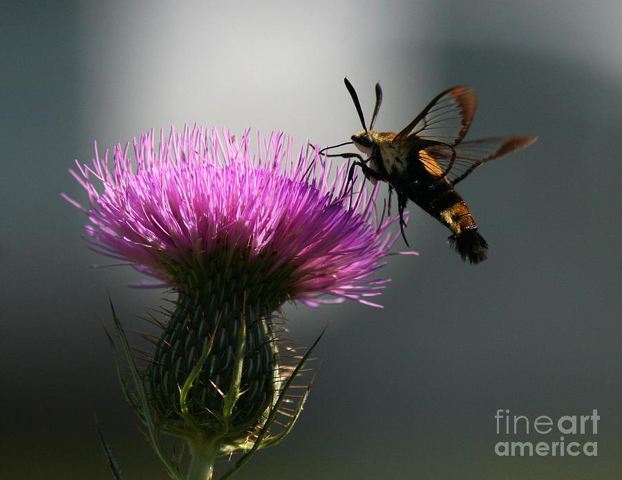 Hummingbird Photograph - Hummingbird Moth II by Douglas Stucky