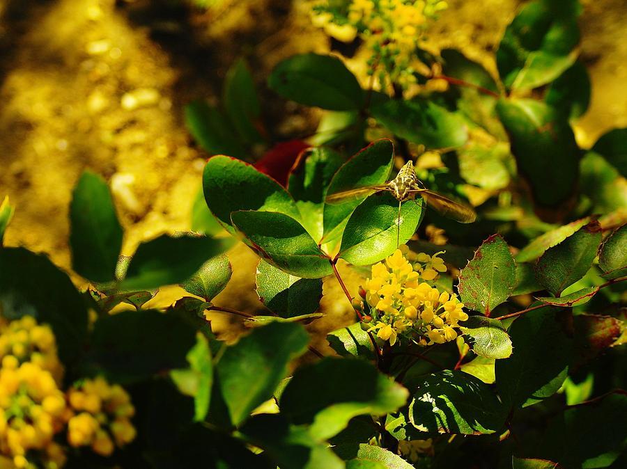 Hummingbird Moth Photograph