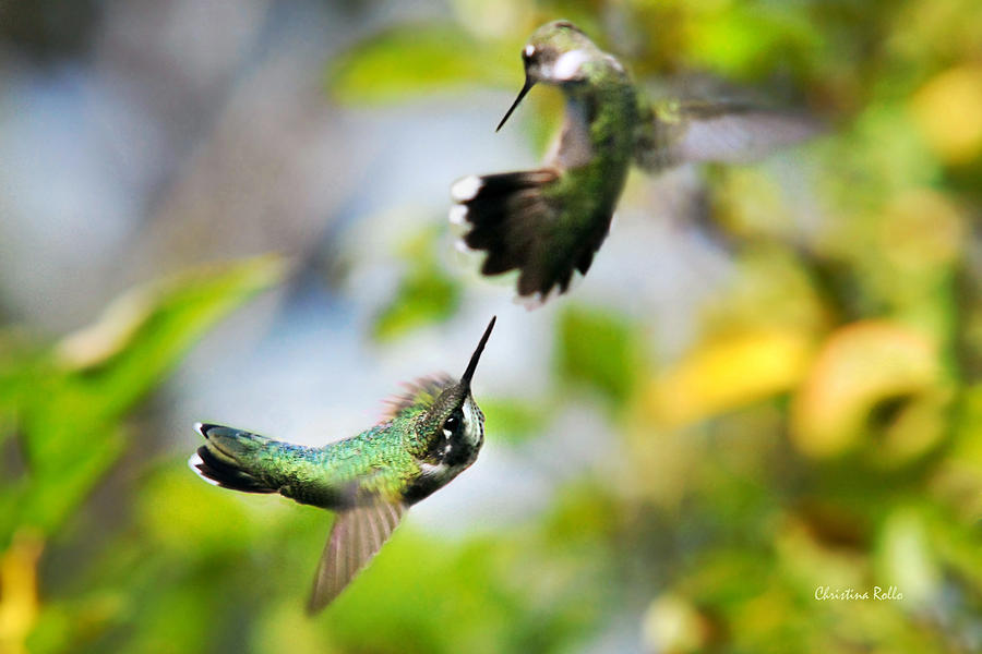 Hummingbirds Ensuing Battle Photograph  - Hummingbirds Ensuing Battle Fine Art Print
