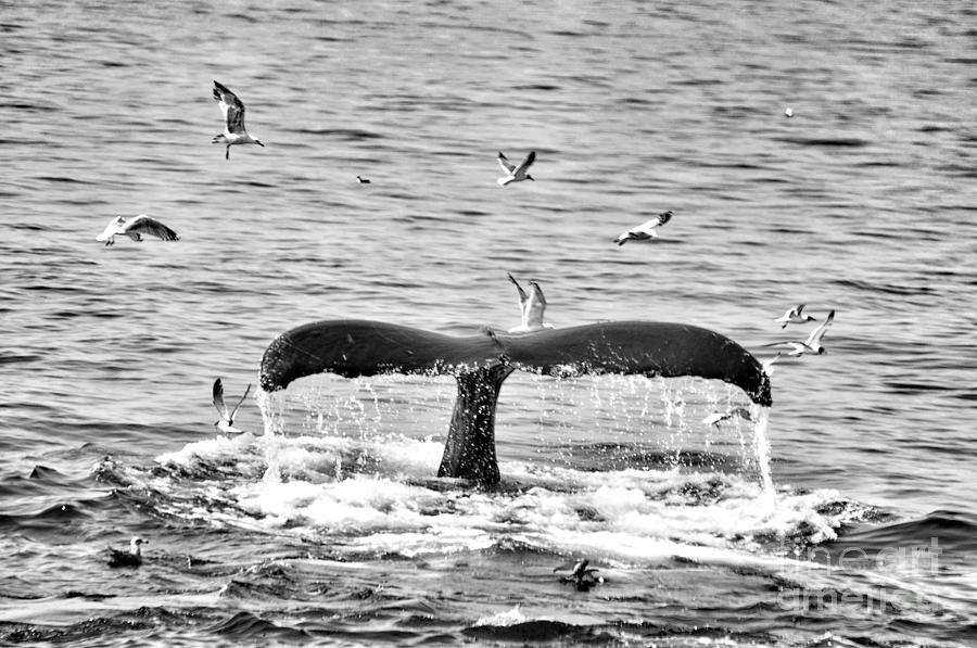 Black And White Whale Pictures to Pin on Pinterest - PinsDaddy
