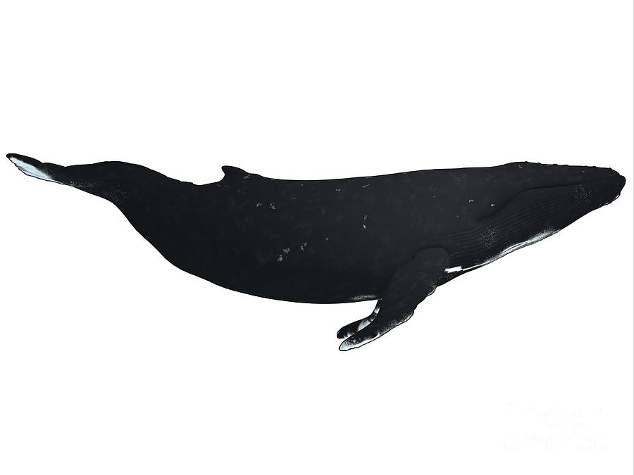 Humpback Whale Profile Painting