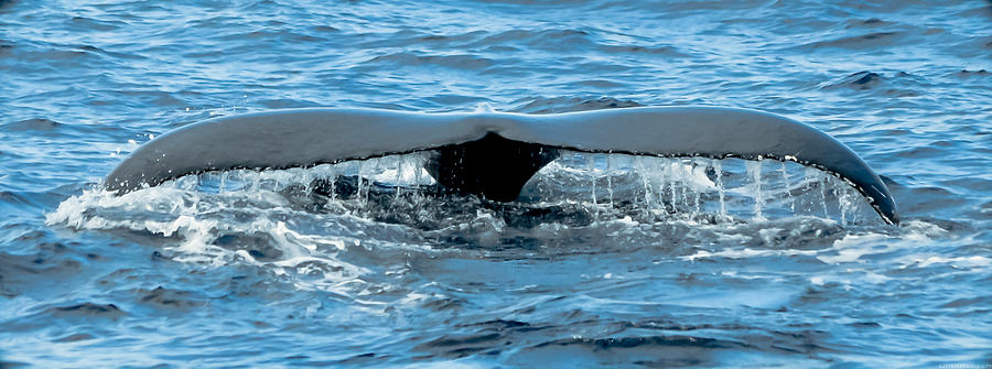 Humpback Whale Tail Off Bermuda Photograph