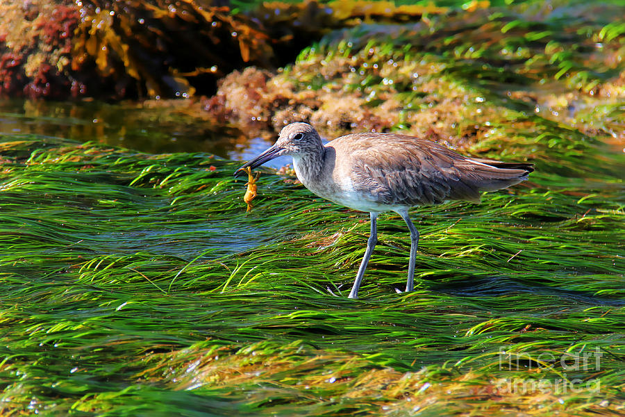 Hungry Willet Photograph