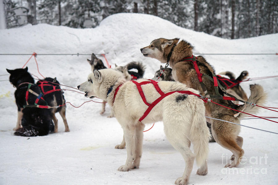 Husky Dogs Pull A Sledge Photograph by Lilach Weiss