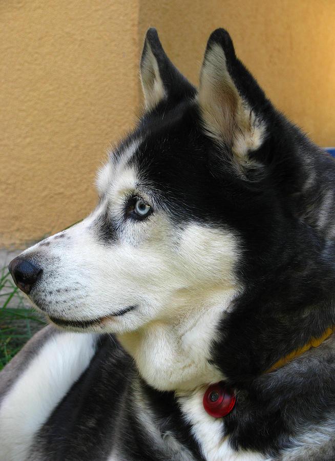 Husky Photograph