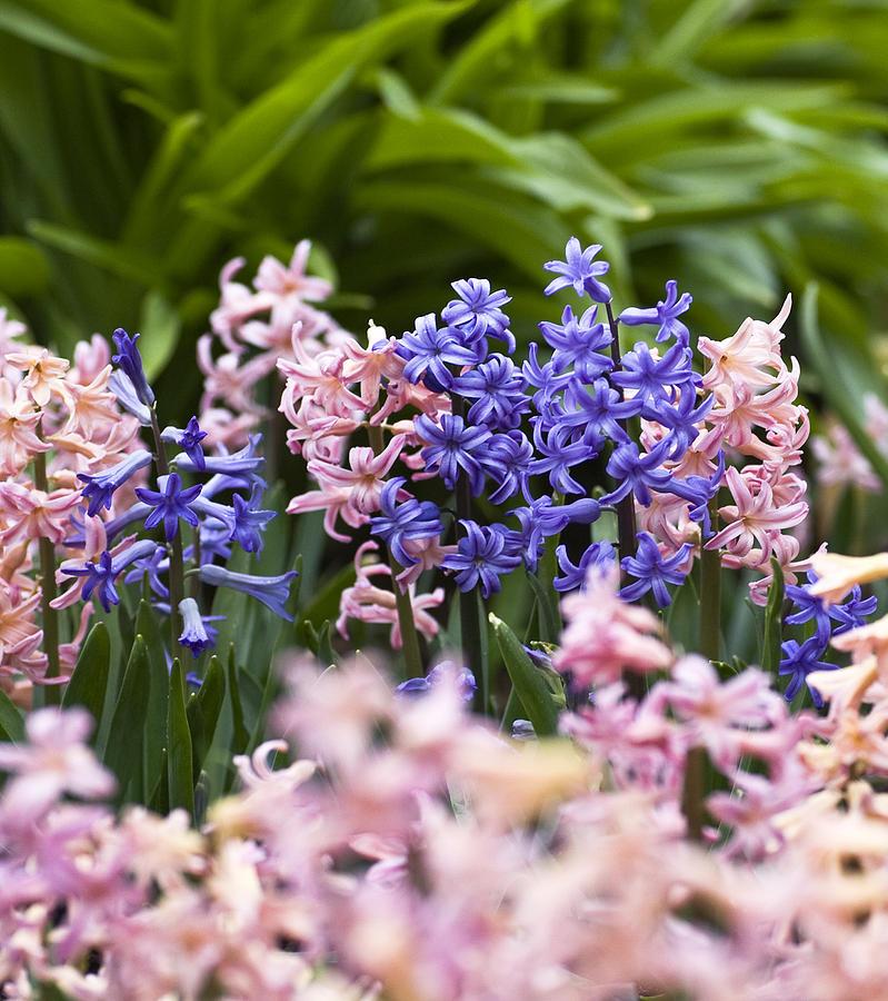Frank Tschakert Photograph - Hyacinth Garden by Frank Tschakert