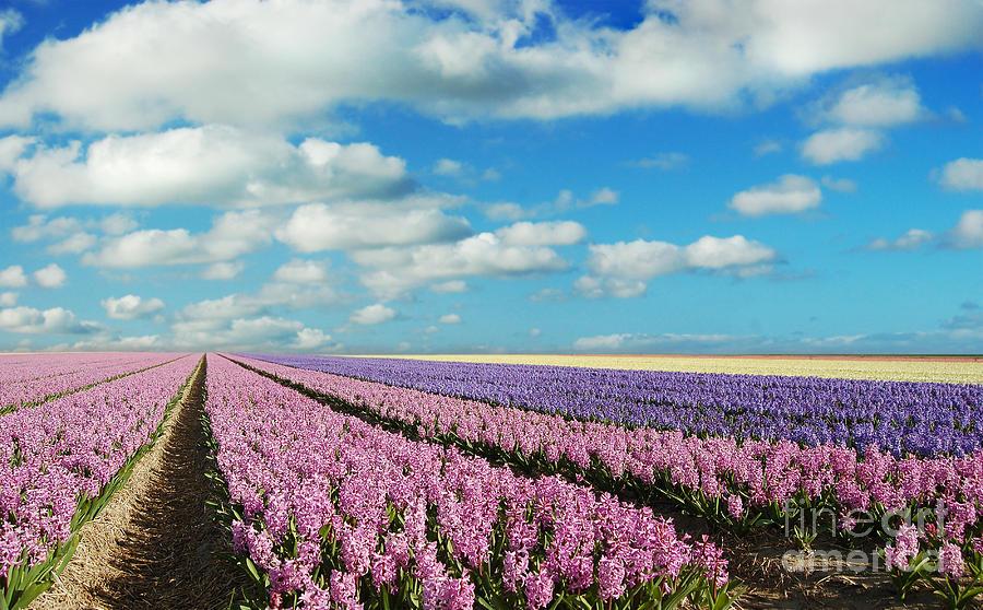Hyacinth Heaven Photograph