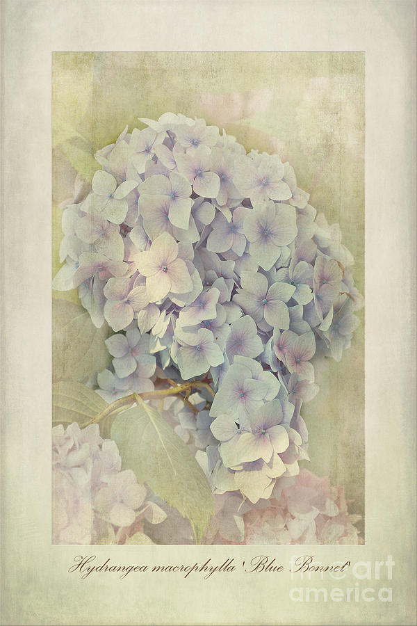 Hortensia Photograph - Hydrangea Macrophylla Blue Bonnet by John Edwards