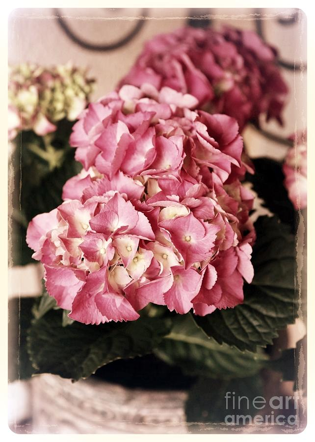 Hydrangea On The Veranda Photograph  - Hydrangea On The Veranda Fine Art Print