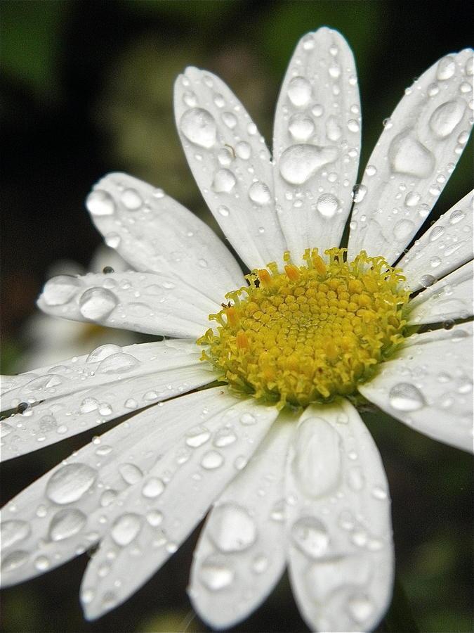 Flowers Photograph - I Love Rainy Daisies by Marijo Fasano