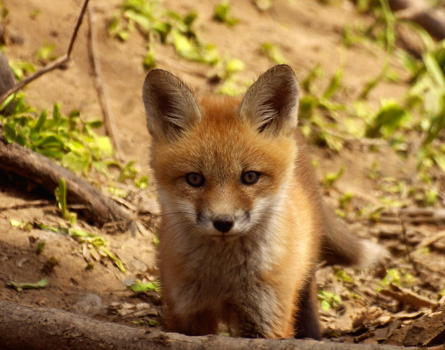Fox Photograph - I See You by Thomas Young