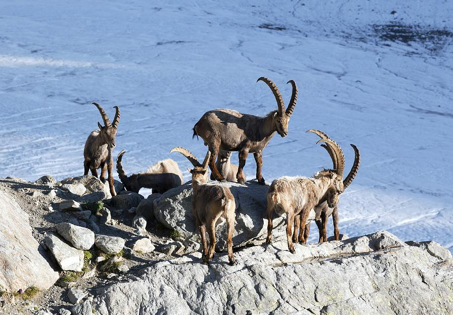 Ibex By A Glacier Photograph