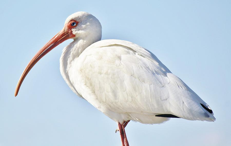 Ibis In The Marsh Photograph
