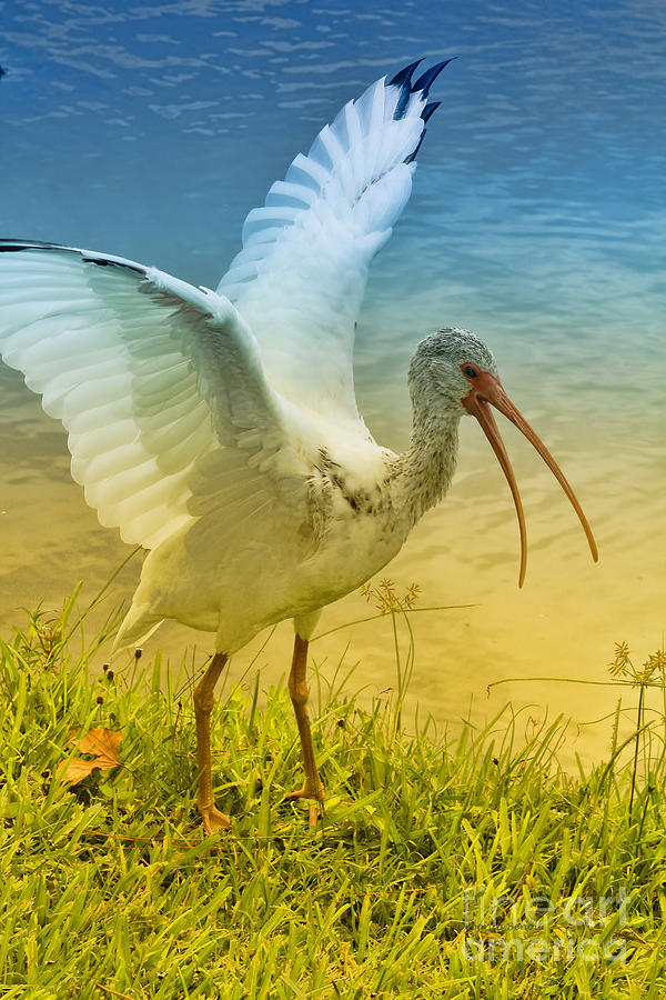 Ibis Talking Photograph  - Ibis Talking Fine Art Print