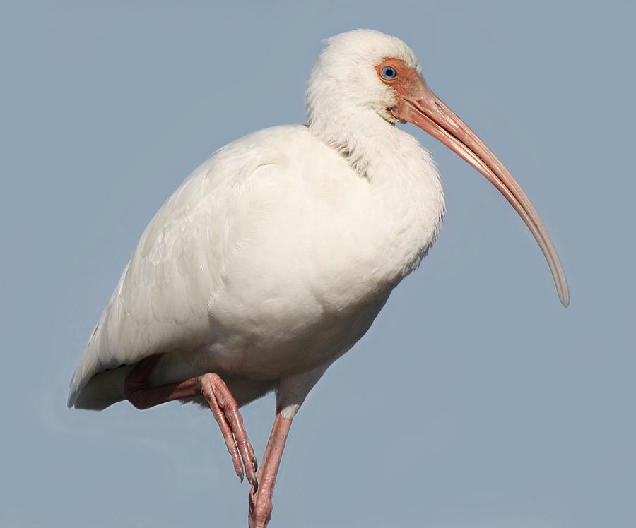 Ibis Up Close Photograph