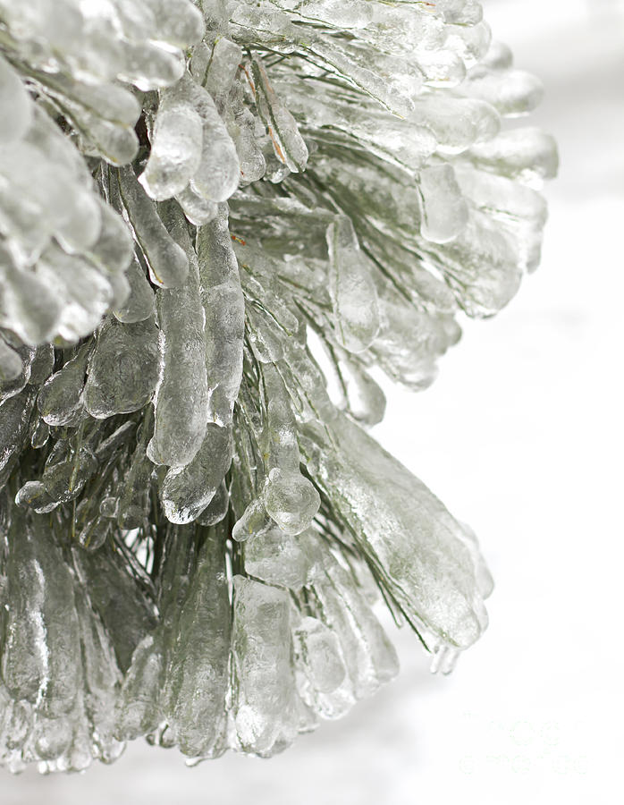 Ice On Pine Branches Photograph