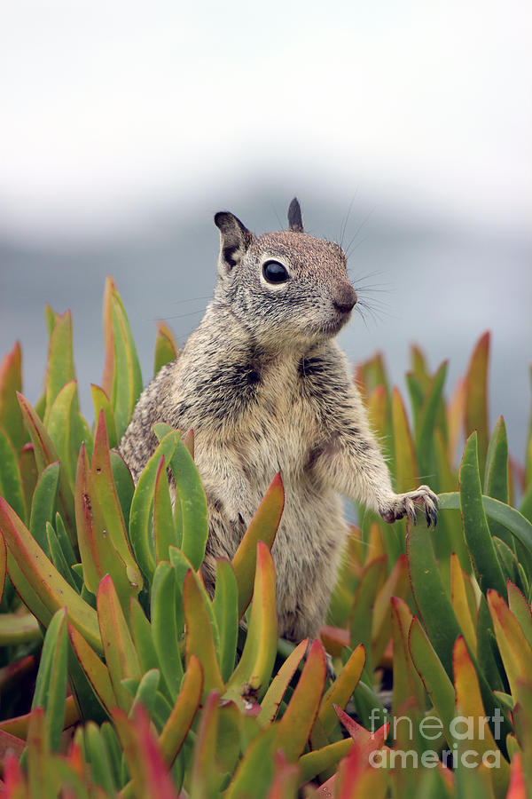 Ice Plant Squirrel  Photograph