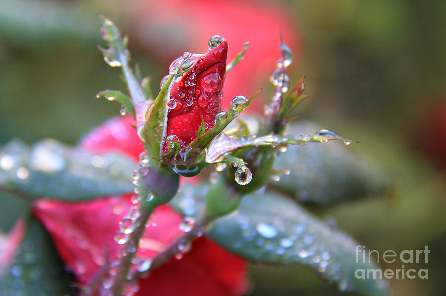 Ice Roses Photograph