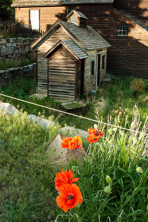 Iceland Poppy And Derelict Buildings Silver Plume Historic Mining Town Near Georgetown Colorado Photograph