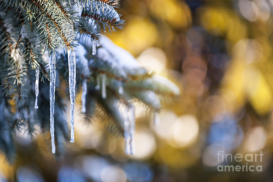 Icicles On Fir Tree In Winter Photograph