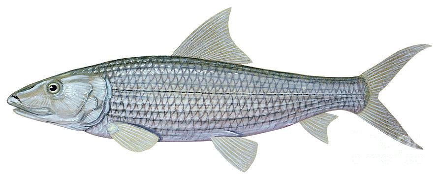 Illustration Of A Bonefish Albula Digital Art