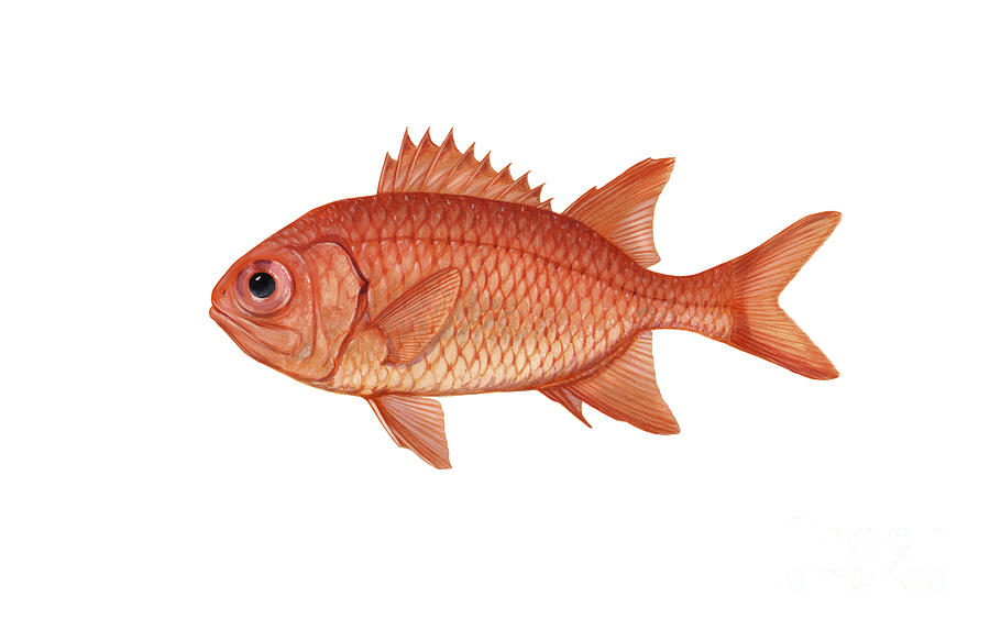 Illustration Of A Brick Soldierfish Digital Art