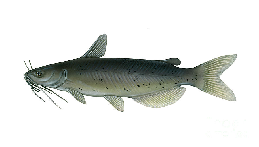 Illustration Of A Channel Catfish Digital Art