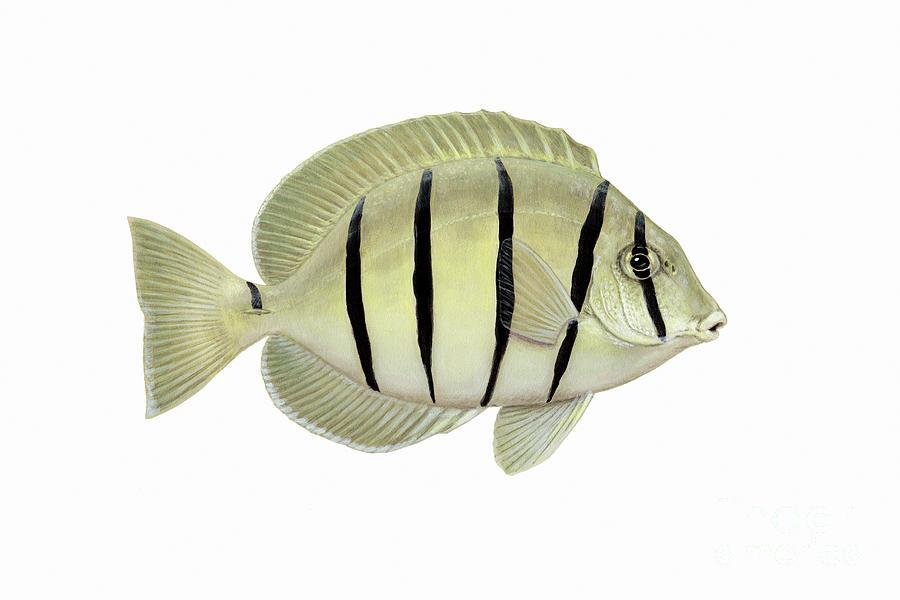 Illustration Of A Convict Tang Fish Digital Art