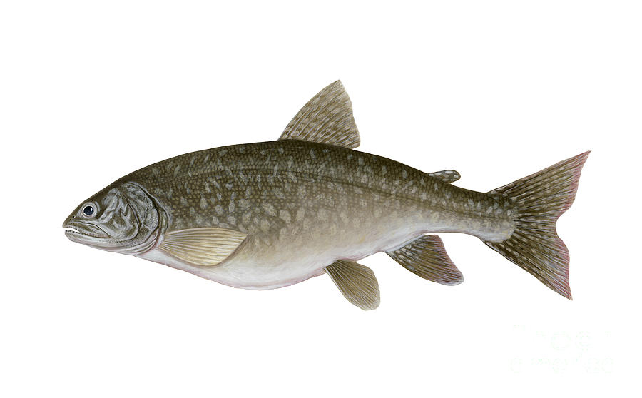 Illustration Of A Lake Trout Salvelinus Digital Art