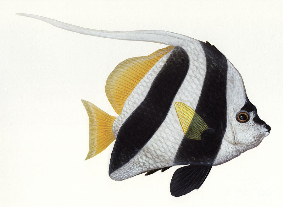 Illustration Of A Pennant Coralfish Digital Art