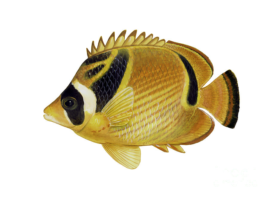 Illustration Of A Raccoon Butterflyfish Digital Art