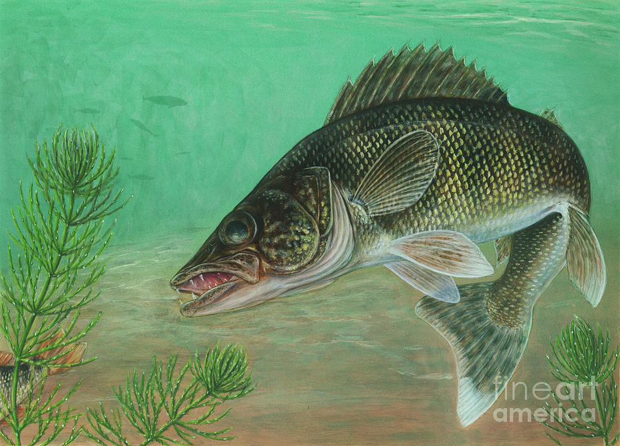 Illustration Of A Walleye Swimming Digital Art