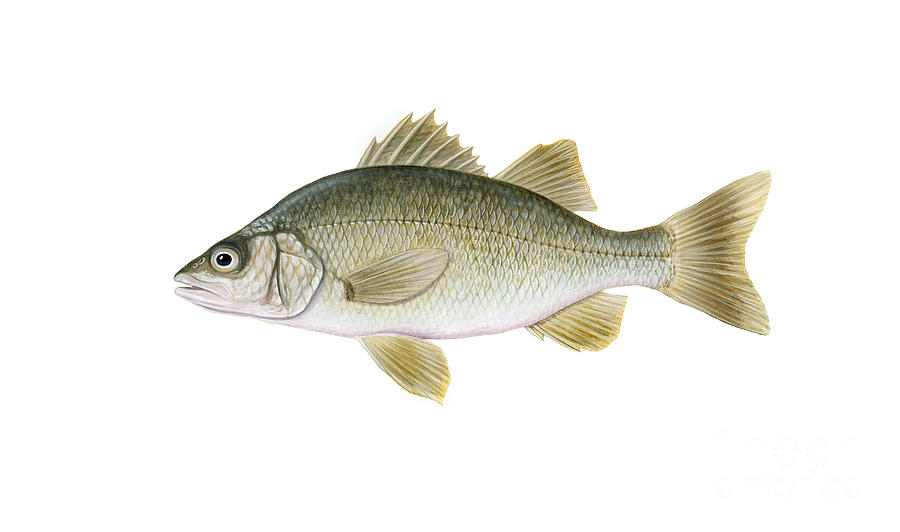 Illustration Of A White Perch Morone Digital Art