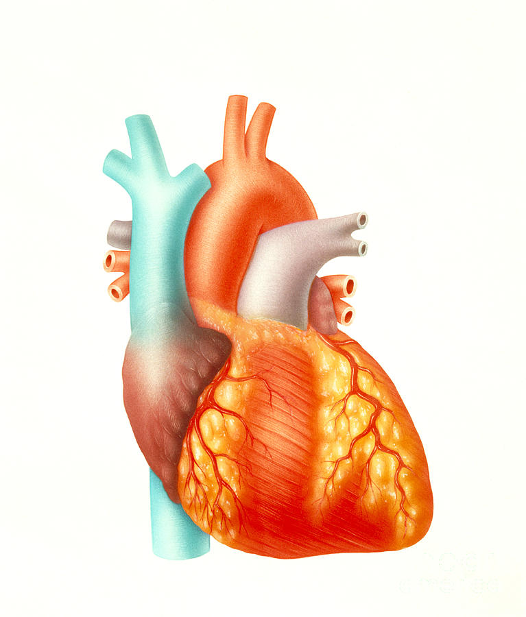 Illustration Photograph - Illustration Of The Human Heart by Carlyn Iverson