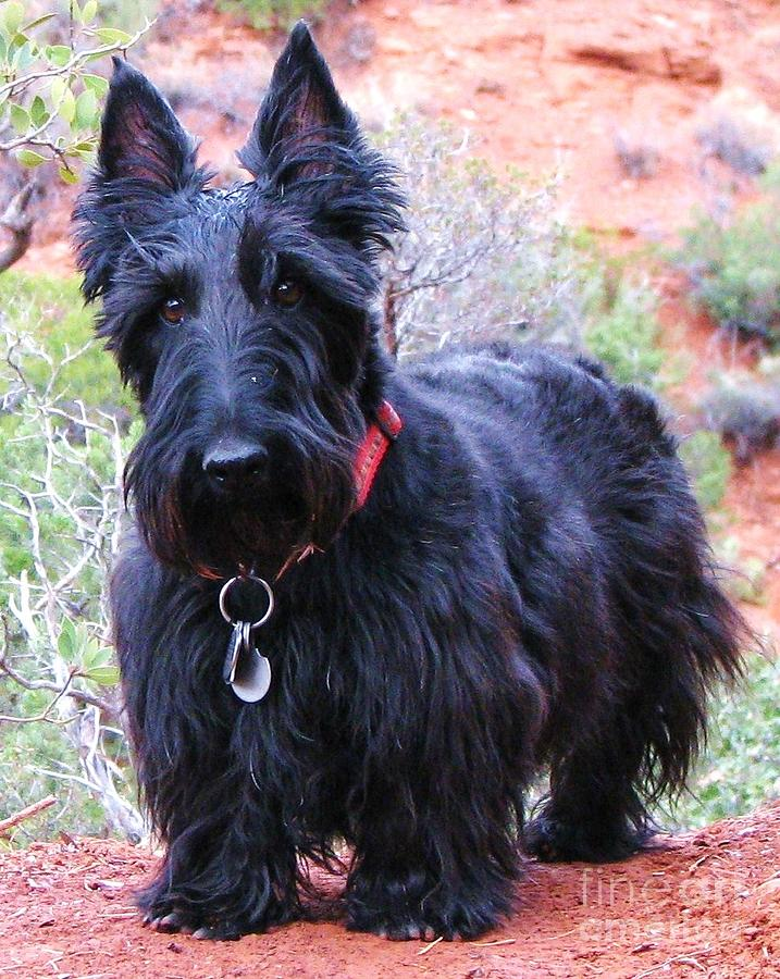 Scottish Terrier Photograph - Im Ready When You Are by Michele Penner