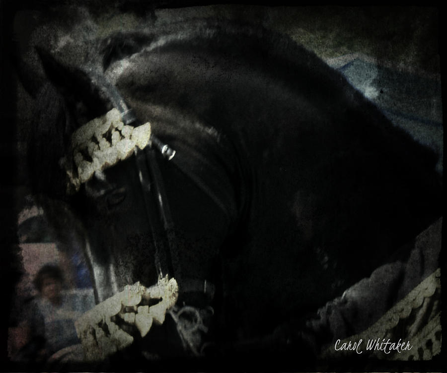 Imperial Friesian Photograph