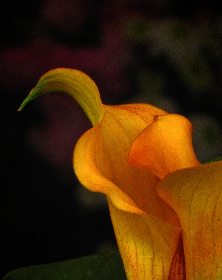 Impression Calla Photograph  - Impression Calla Fine Art Print