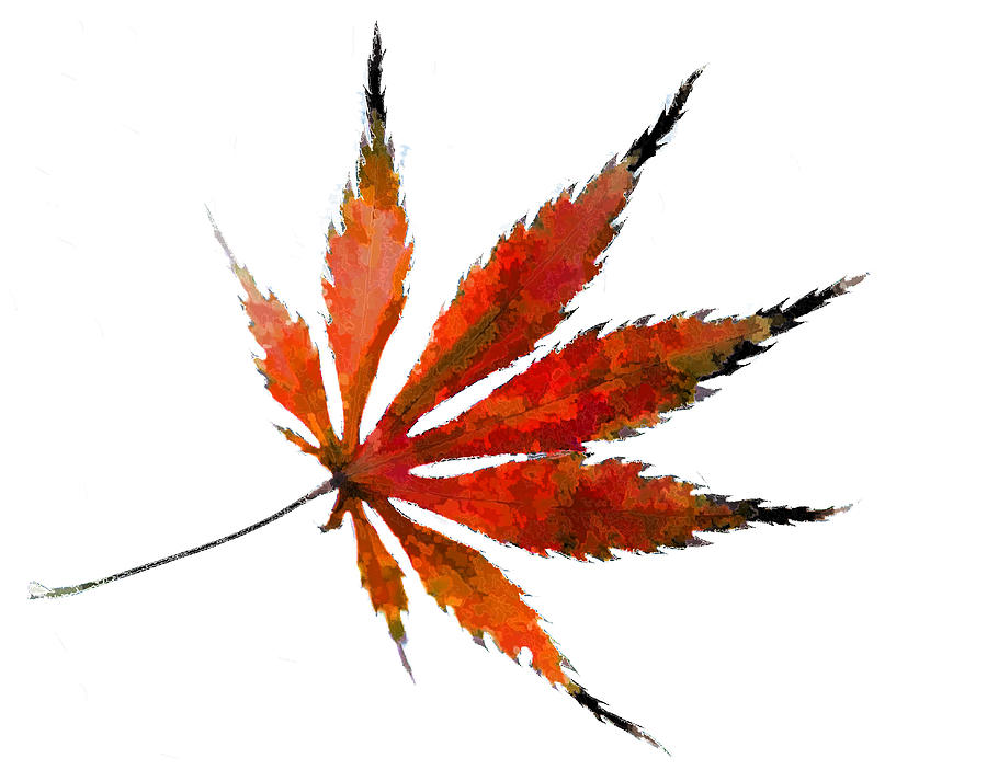Image gallery japanese maple leaves drawing Japanese maple leaf