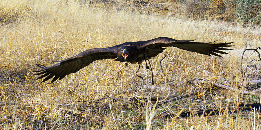 Action; Animal; Arizona; Avian; Bird; Color; Falconry; Feather; Flying; Grass; Hunting; Intense; Nature; Predator; Raptor; Wildlife Photograph - In Coming by Randall Ingalls