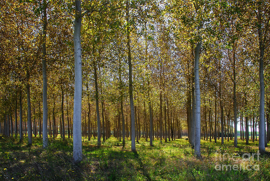 Broadleaf Tree Photograph - In Rank And File  by Hannes Cmarits