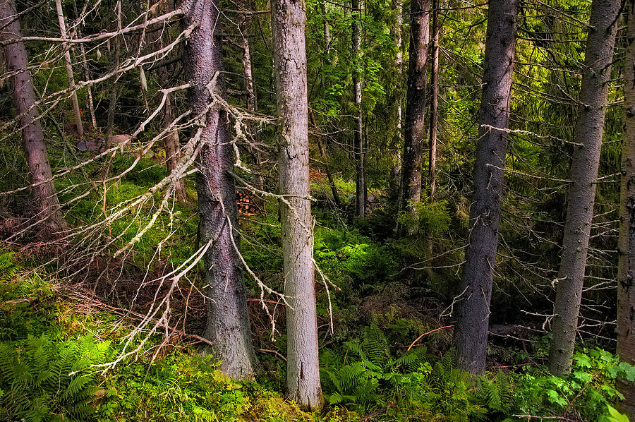 In The Depth Of Northern Forest Photograph  - In The Depth Of Northern Forest Fine Art Print