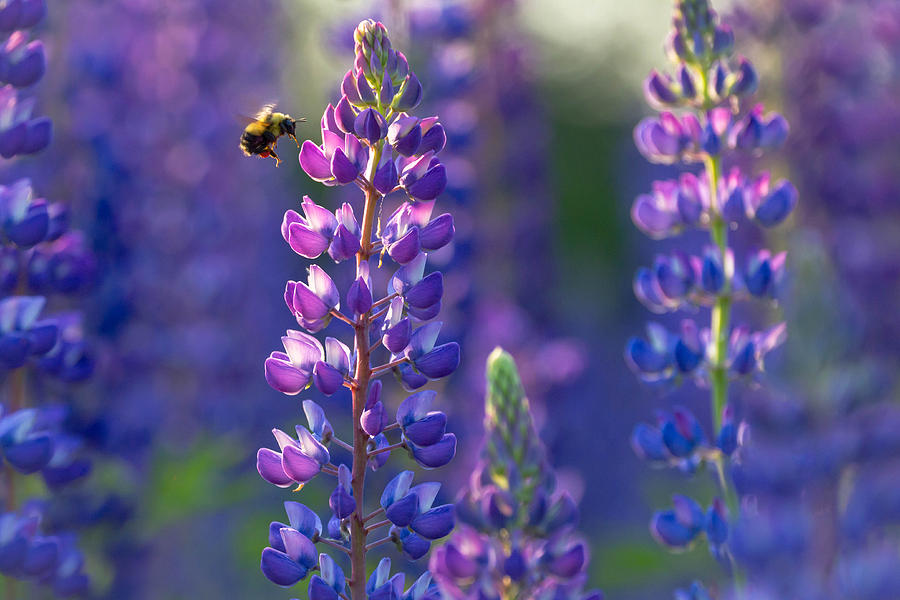 Lupine Photograph - In The Land Of Lupine by Mary Amerman