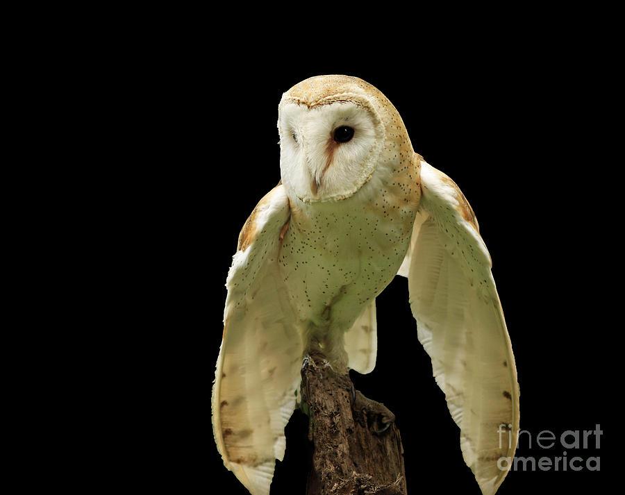 In The Still Of Night Barn Owl Photograph
