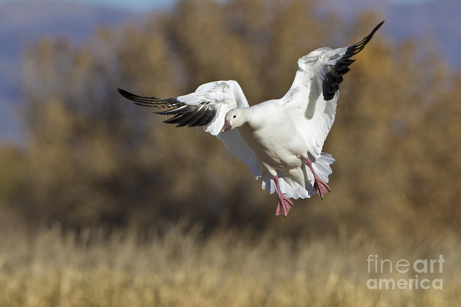 Incoming Snow Goose Photograph  - Incoming Snow Goose Fine Art Print