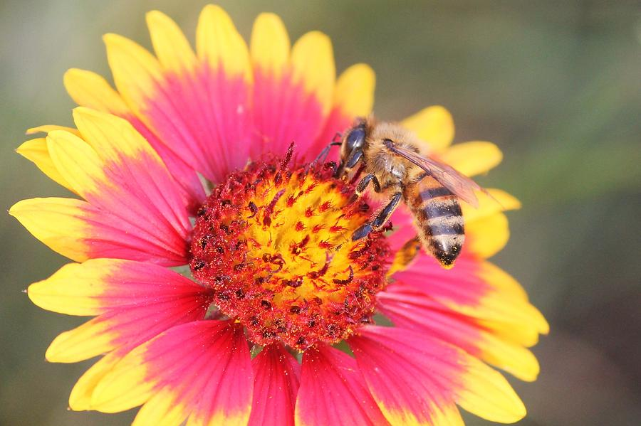 Indian Blanket Aka Firewheel And Bee Photograph