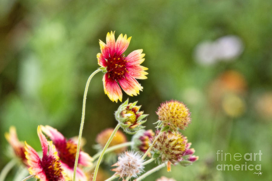 Indian Blanket Photograph